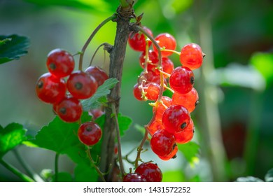 branch of red currant with green leaves close up