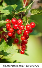 Branch of red currant (R�bes rubrum)