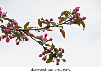 Branch of red flowers, white background