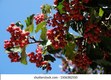 Branch with red fruits of Crataegus - commonly called hawthorn, thornapple, May-tree, whitethorn, or hawberry. It is edible and medicinal plant. Used to jams, jellies, juices, alcoholic beverages.