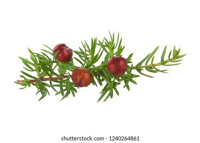 branch of red juniper berries isolated
