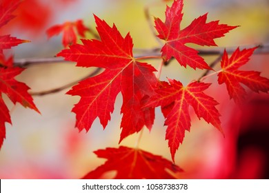 Branch with red maple leaves. Canada Day maple leaves background. Red leaf for Canada Day 1st July. Happy Canada Day real maple leaves in shape of Canadian Flag. Best picture of maple leaves