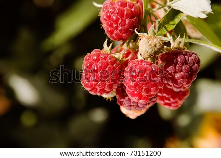 Branch red raspberries ripening with green leaves in garden