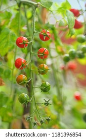 Branch of red ripe and green unripe tomatoes