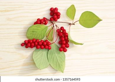 Branch red ripe schisandra isolated on white. Natural vitamins. Schisandra crop
