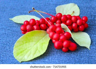 branch of red ripe schisandra with leaves lay on the dark blue background