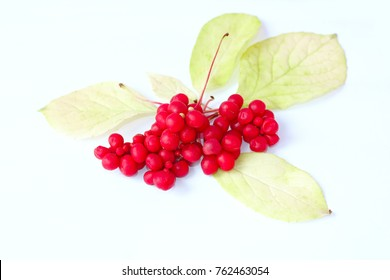 branch of red ripe schisandra on the white