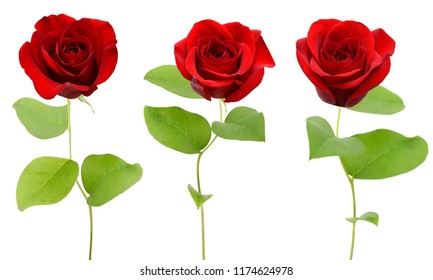 Branch of red rose flower gift isolate, white