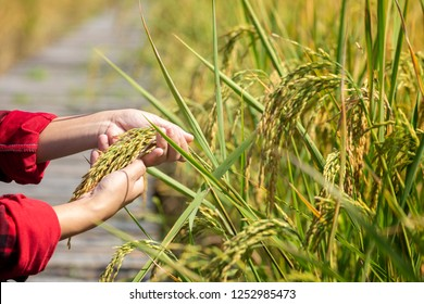Branch of rice on farmer hand at farmland.