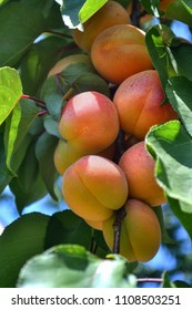 a branch with ripe apricots