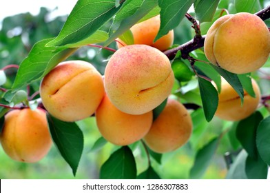 branch of the ripe apricots in the orchard