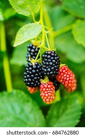 Branch with ripe blackberry. Outdoor photo.