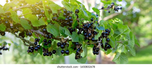 Branch of ripe blackcurrant berries hanging on the bush in a garden. Close-up. Selective focus on berries.