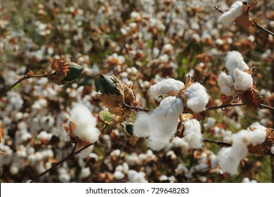 Branch with ripe cotton