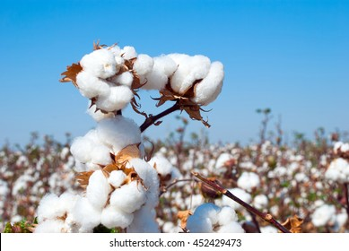 Branch of ripe cotton on the cotton field, Uzbekistan