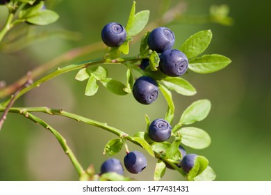 A branch with ripe dark blue common bilberries (vaccinium myrtillus). Season: Summer 2019. Location: Western Siberian taiga.