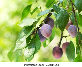 branch of ripe plums in a garden