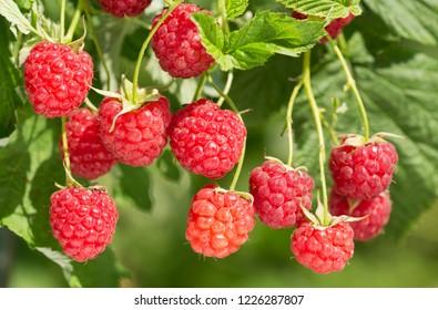 branch of ripe raspberries in a garden