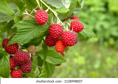 Branch of ripe raspberries in garden. Red sweet berries growing on raspberry bush in fruit garden.