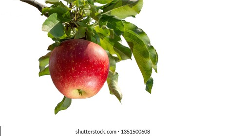 branch of ripe red apples with showers close-up isolate on white background. The concept of successful organic gardening