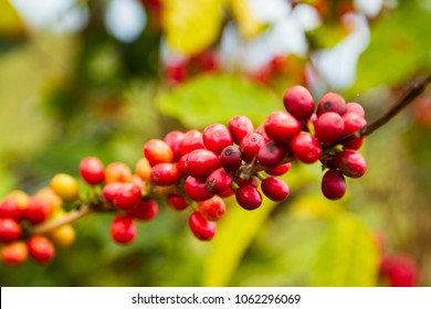 Branch of ripe red coffee cherries in Ethiopia
