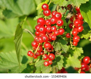 Branch of of ripe redcurrant growing lit with sunlight