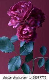 branch with rosebuds on a magenta background, vertical composition, studio shot.