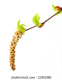 branch of russian Birch Tree with catkin and spring buds
