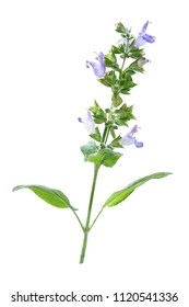 branch of sage bush purple flower white background
