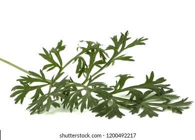 Branch of sagebrush, isolated on a white background