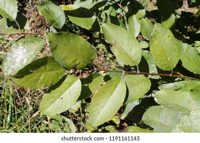 Branch of Salix caprea or Great sallow with green leaves