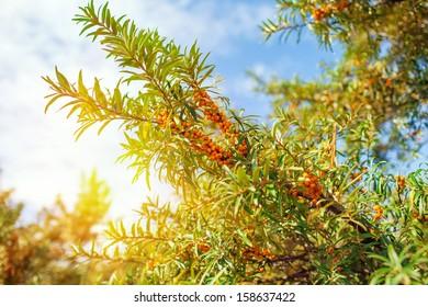 branch of sea buckthorn berries