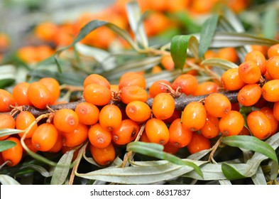 Branch of sea buckthorn berries
