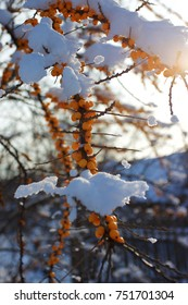 Branch of sea buckthorn tree covered with snow.
