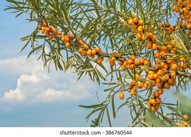 Branch of sea-buckthorn with green leaves and orange berries on a background of blue sky with white clouds, close-up