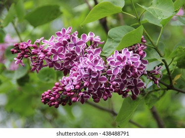 Branch of Sensation Lilac flowers (kind of lilac with florets edged in white) with green leaves in spring time