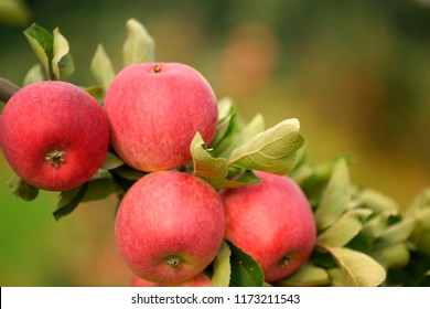 Branch with several red apples in the closeup.