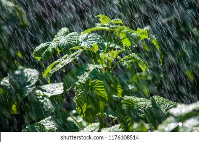The branch of shrubs in the pouring rain