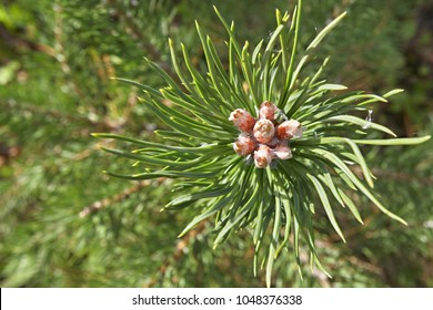 Branch of the Siberian pine close up