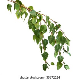 A branch of silver birch leaves, isolated on white.  Fresh spring growth.