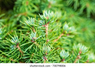 The branch of silver coniferous tree. Selective focus on smooth background.