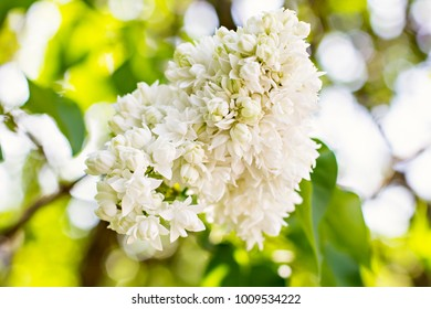 A branch of sirens on a tree in a garden, park. Beautiful flowering flowers of lilac tree at spring.  Blossom in Spring. Spring concept.