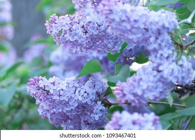 A branch of sirens on a tree in a park. Beautifull  flowers of lilac tree at spring. Blossom background.
