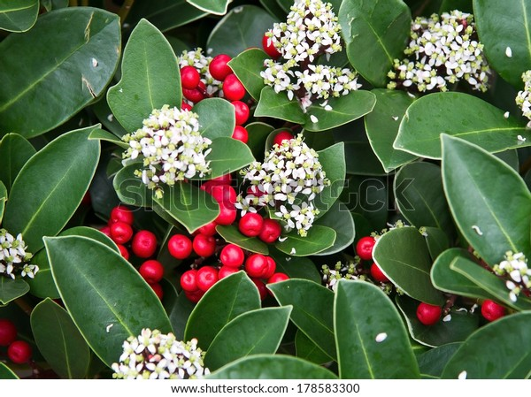 Branch of skimmia japonica
