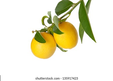 Branch of small lemons  with leaves isolated on white background