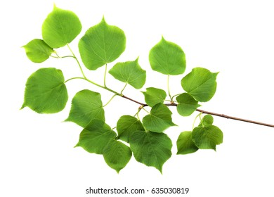Branch of small-leaved lime (Tilia cordata) isolated on white background