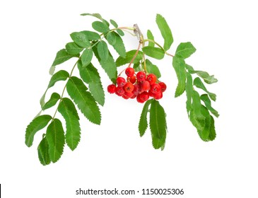 Branch of Sorbus aucuparia also known as rowan or mountain ash with cluster of red berries and green leaves on a white background