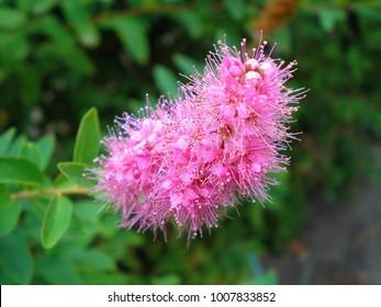 Spirea images stock photos vectors shutterstock branch of spirea or spiraea blooming spirea billardii by pink small flowers spirea shrub mightylinksfo