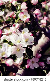 Branch of Spring Apple Blossoms in an Orchard