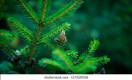 Branch of spruce close up, blurry natural background